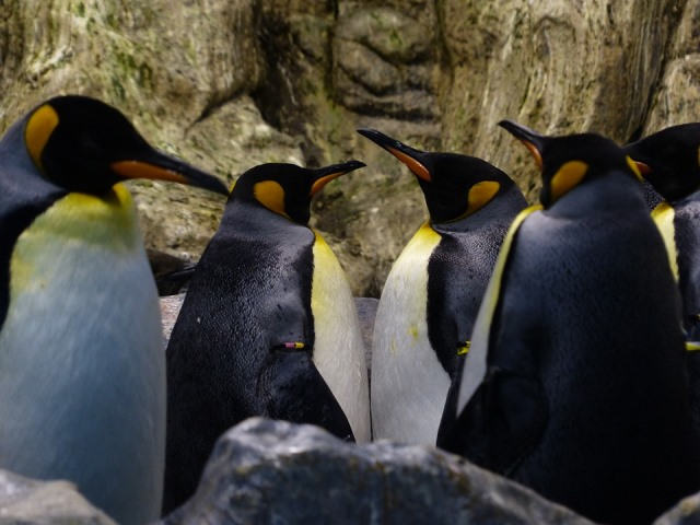 king-penguins-406539_960_720