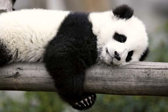Unavená panda odpočívá po prvním náročném kole jednání s ministrem Babišem.